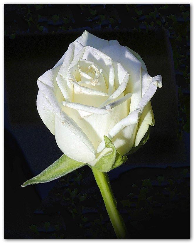 roseblanche3.jpg
